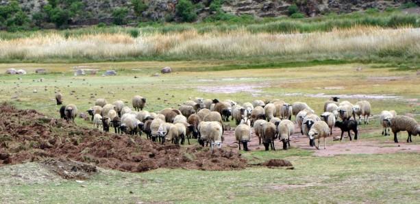 Valle Sagrado - Pikillacta - ovelhas pelo caminho