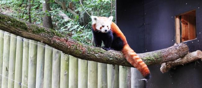 Zoológico de Nuremberg - Red Panda posando pra foto