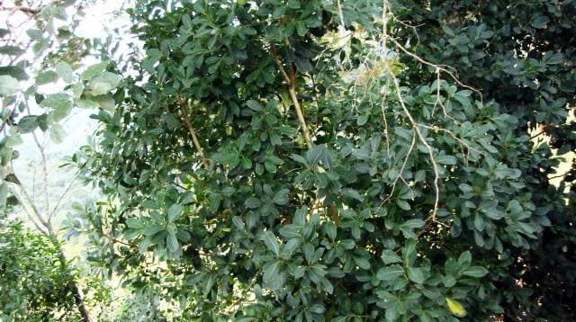 Treze Tïlias - Pé de erva mate