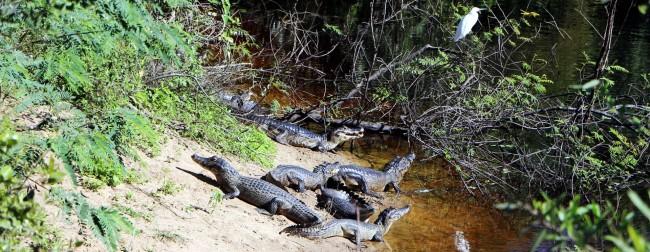 ABC do Pantanal - Jacaré
