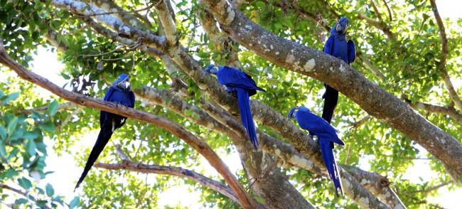 ABC do Pantanal - Arara Azul 1