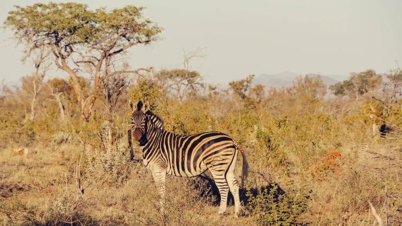 Safári na reserva Madikwe na África do Sul: olha a zebra!